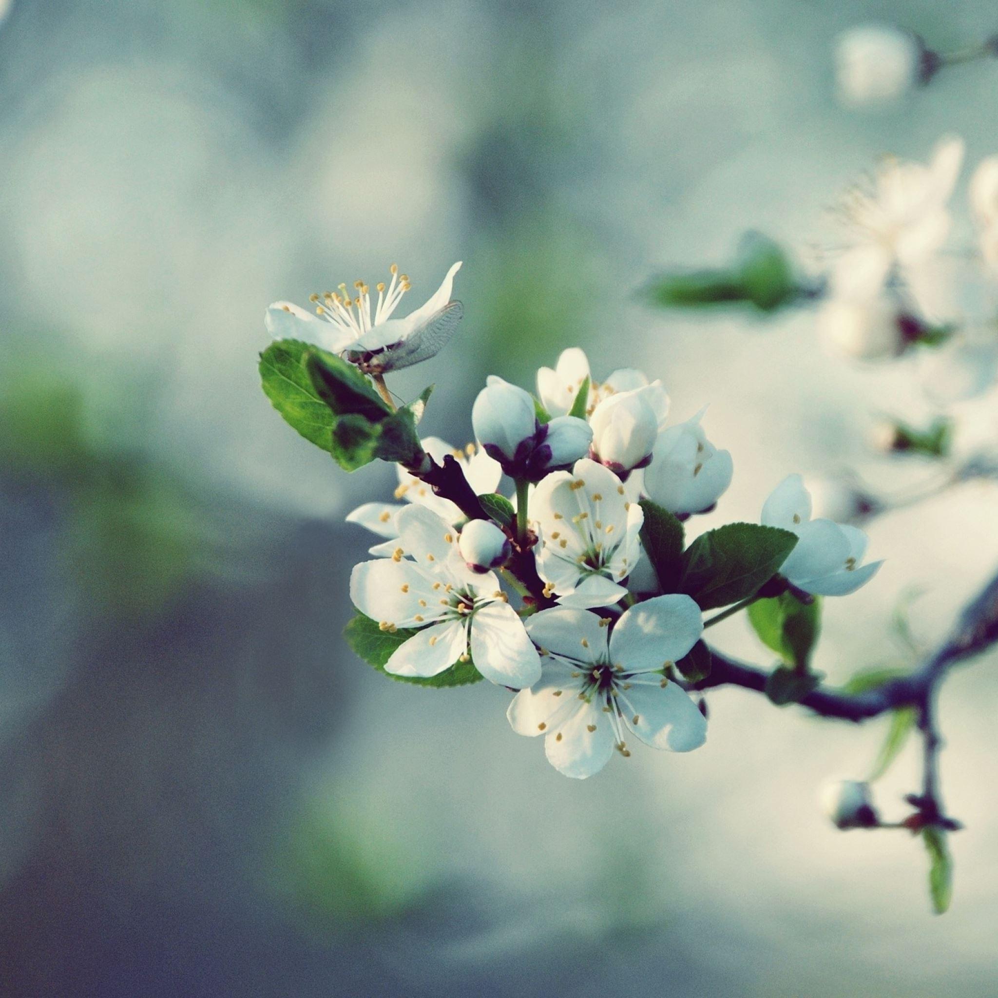 Flowering branch spring tree iPad Air wallpaper