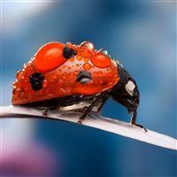 Ladybug dew drops iPad wallpaper