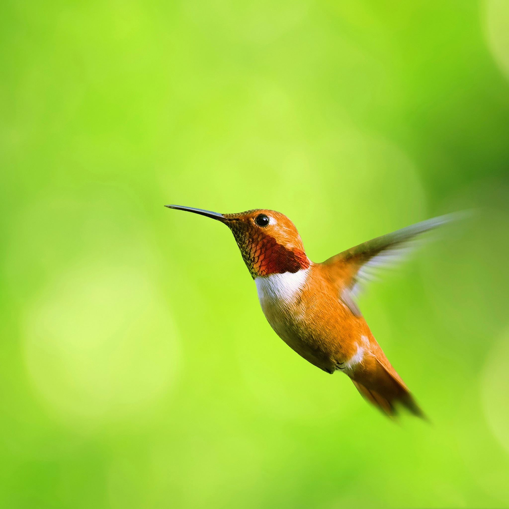 Hummingbirds iPad Air wallpaper