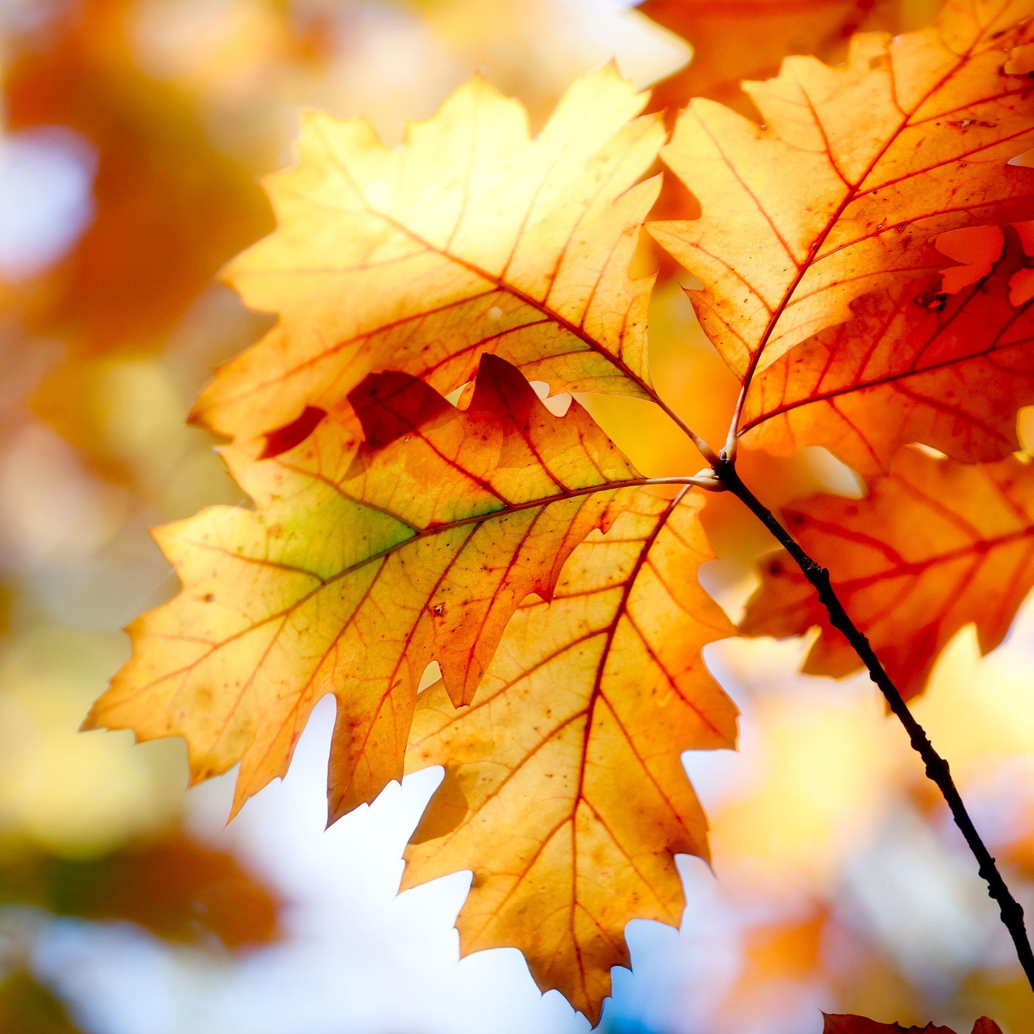 Autumn Leaf IPad Air Wallpaper