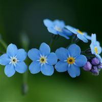 Blue Flowers iPad wallpaper