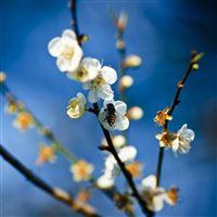 Pear Blossoms iPad wallpaper