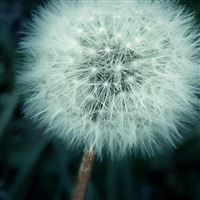 Dandelion iPad wallpaper