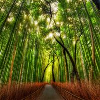 Bamboo Grove iPad wallpaper