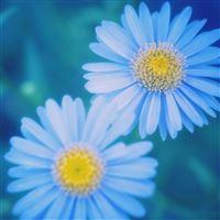 Blue Daisies iPad wallpaper