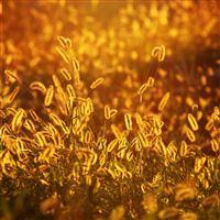 Alopecurus Grass Glow iPad Pro wallpaper