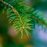 Fir Branch Close Up iPad Pro wallpaper