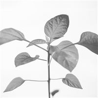 Flower Leaf Simple Minimal Nature Bw iPad wallpaper