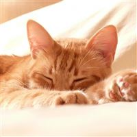 Cat Muzzle Paws Sleep iPad wallpaper