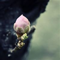 Flower bud iPad wallpaper