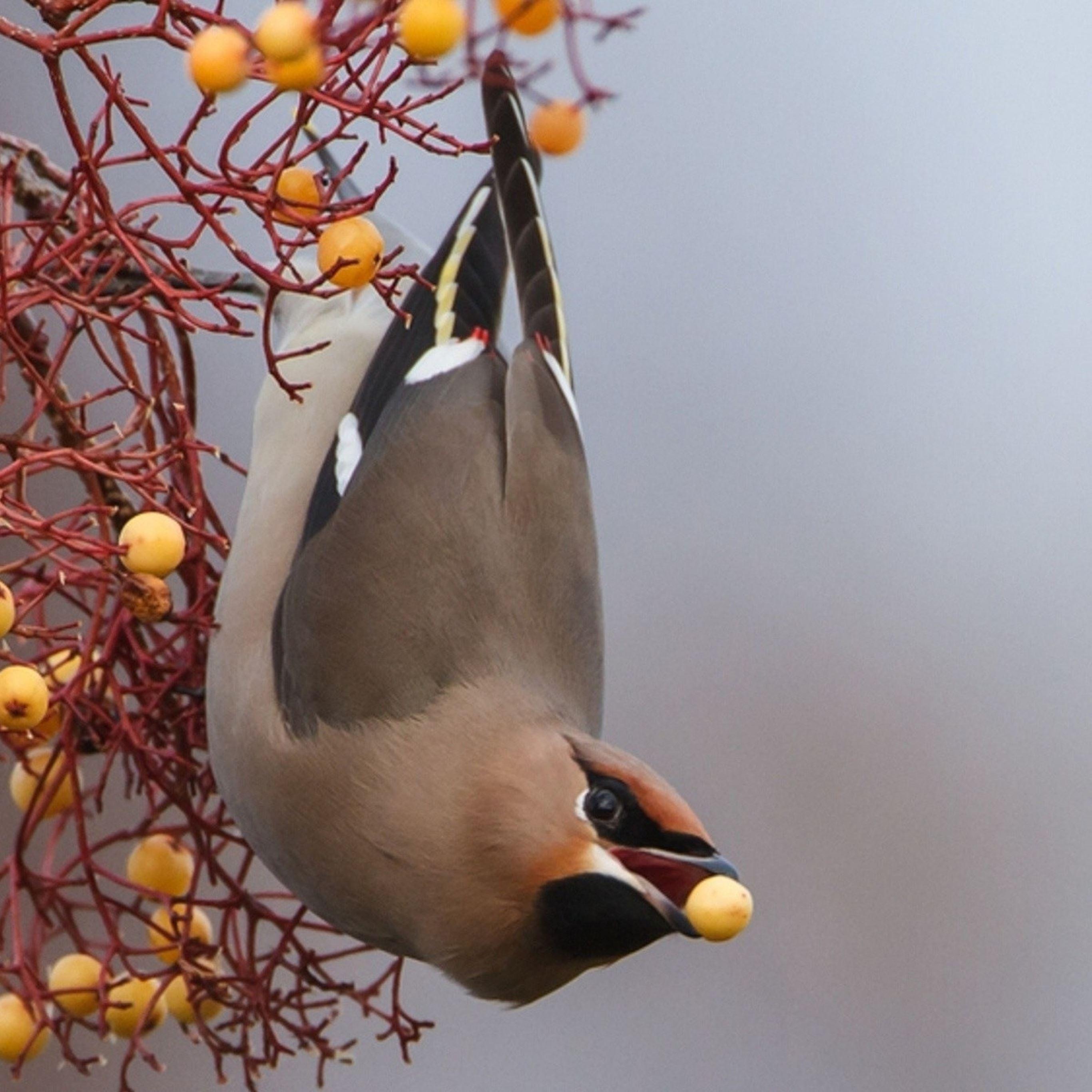 Birds branch berries iPad Pro wallpaper
