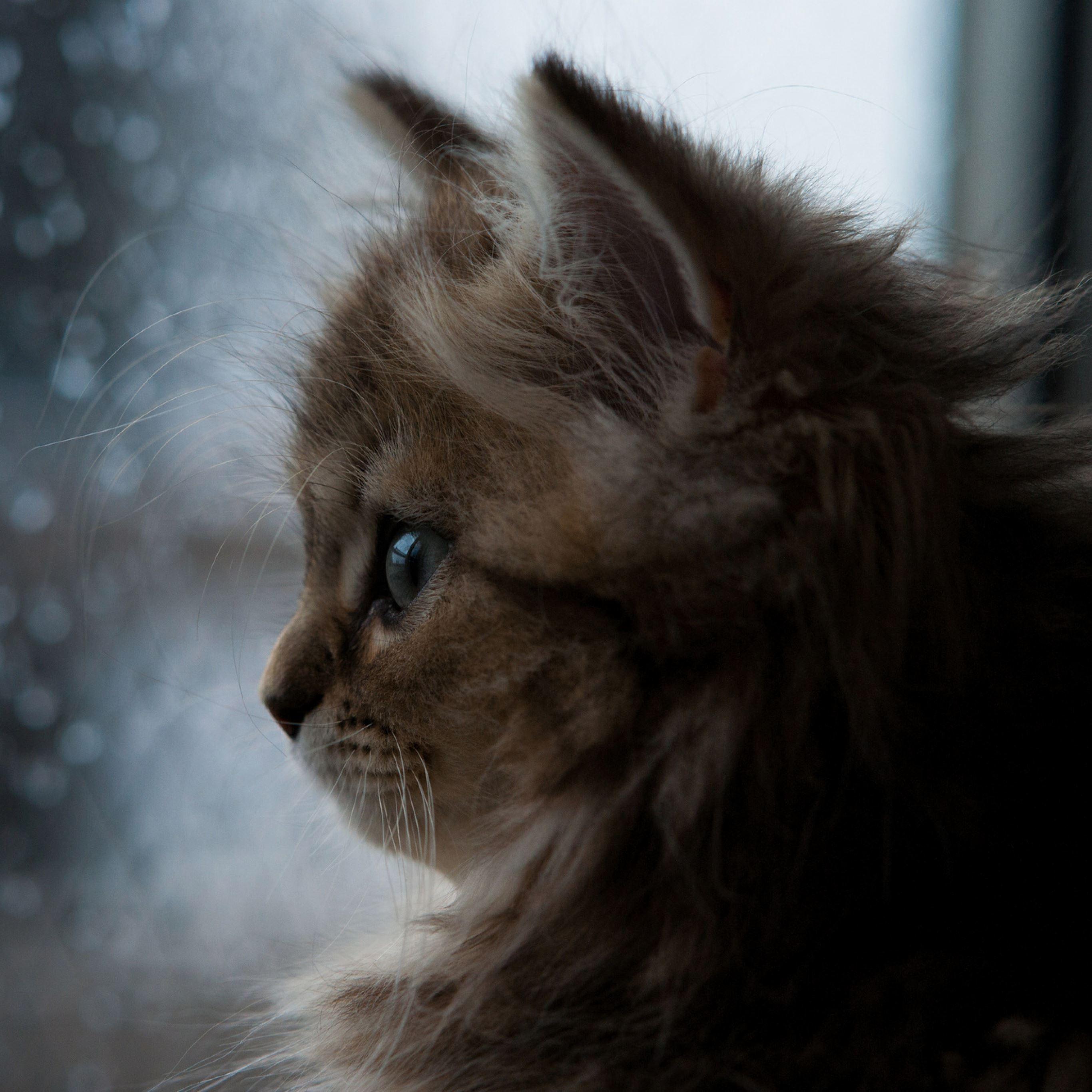 Kitten face window fluffy iPad Pro wallpaper