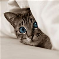 Kitten cat face blue eyes iPad wallpaper