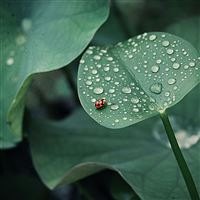 Ladybug leaf drops dew round insect iPad Pro wallpaper