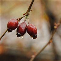 Fall twig berries drops iPad wallpaper
