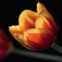 Tulip Closeup iPad wallpaper