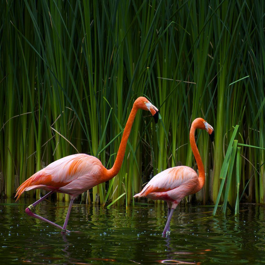 Flamingos iPad wallpaper