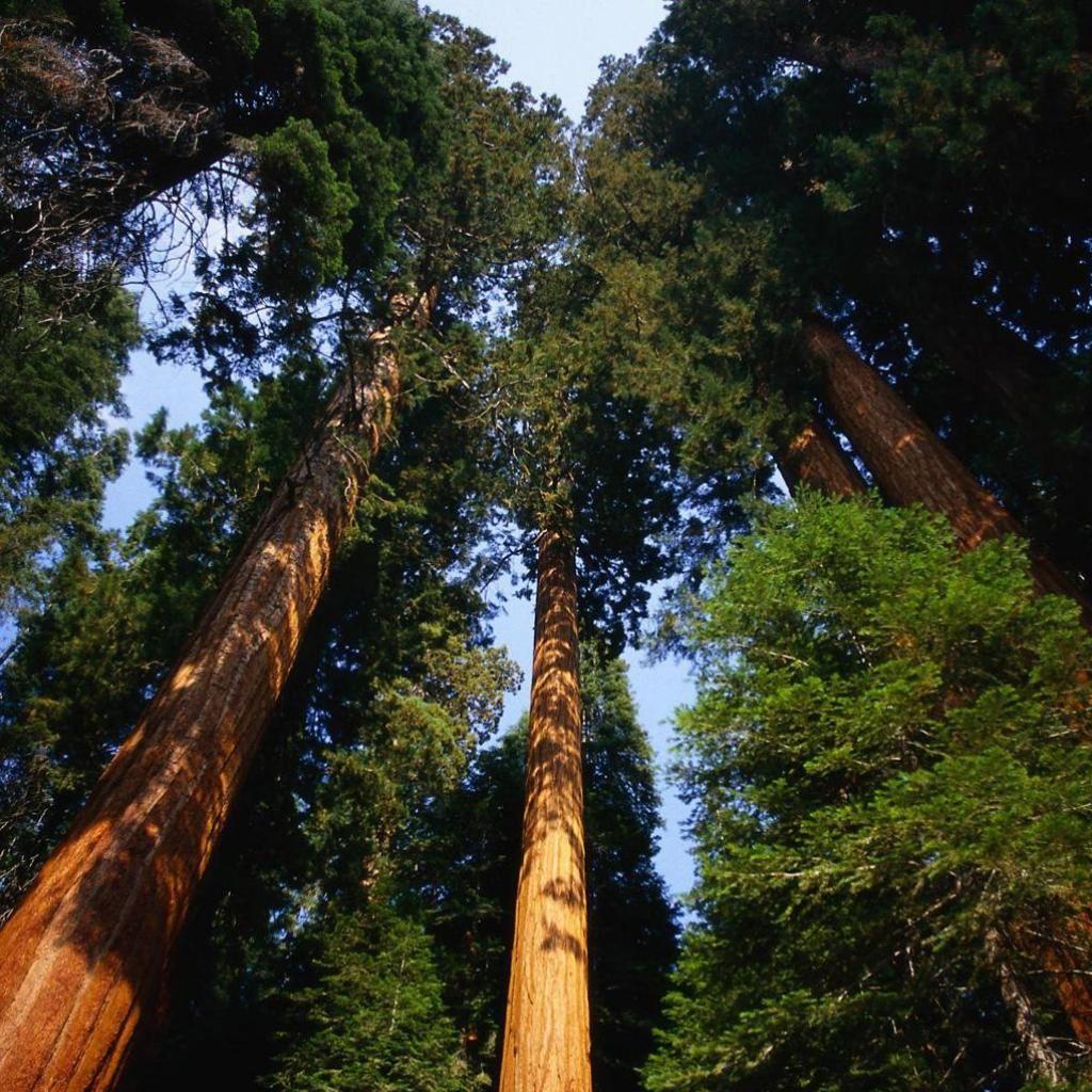 Tall Trees iPad wallpaper