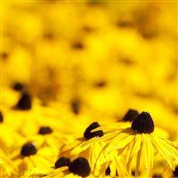 Yellow Flowers iPad wallpaper