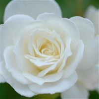Pure White Flower Macro iPad wallpaper