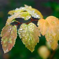 Dew On Bud Leaf iPad wallpaper