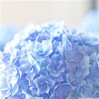Blue Hortensia Flower iPad wallpaper