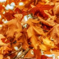 Nature Withered Golden Leaves iPad wallpaper