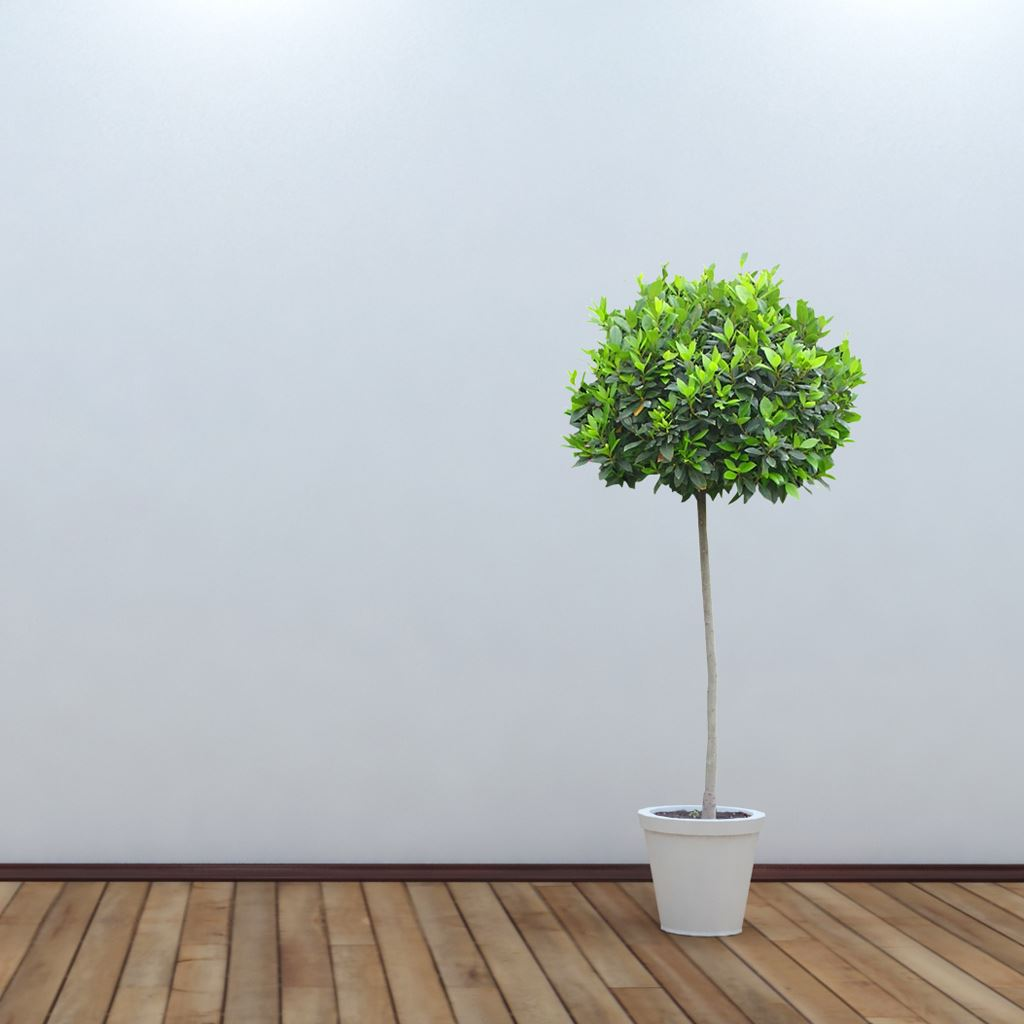 White Room Tree Potted iPad wallpaper