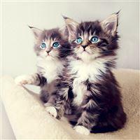 Cute Blue Eyes Kittens iPad wallpaper