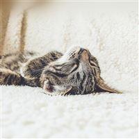 Animal Cute Pet Kitten Nap Sleep iPad wallpaper