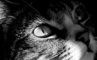 Dark Looking Cat Anima Head Macro iPad wallpaper