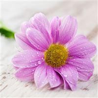 Water Petals Drops Table Flower iPad wallpaper