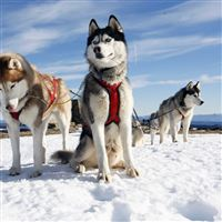Husky Couple Dogs Snow Alaska iPad wallpaper