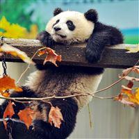 Panda Bear Branch Tree iPad wallpaper