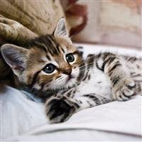 Kitten Lying Striped Small Cute iPad wallpaper