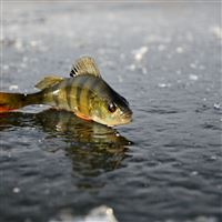 Perch Ice Fishing Winter Reflection iPad wallpaper