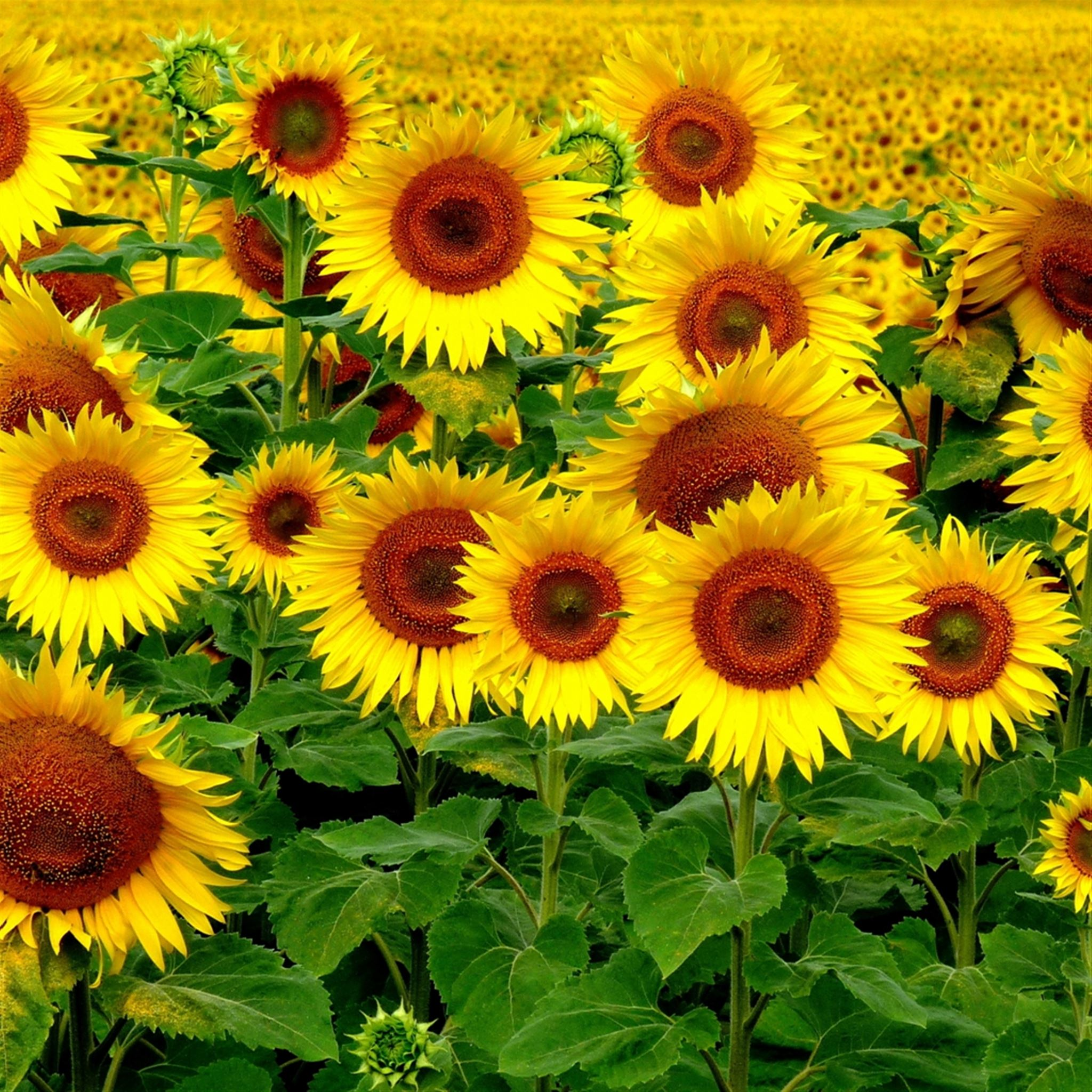 Field Sunflowers Landscape iPad wallpaper
