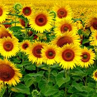Field Sunflowers Landscape iPad wallpaper