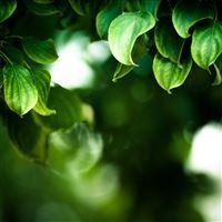 Branches Leaves Macro iPad wallpaper