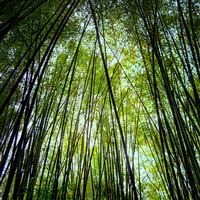 Bamboo forest iPad wallpaper