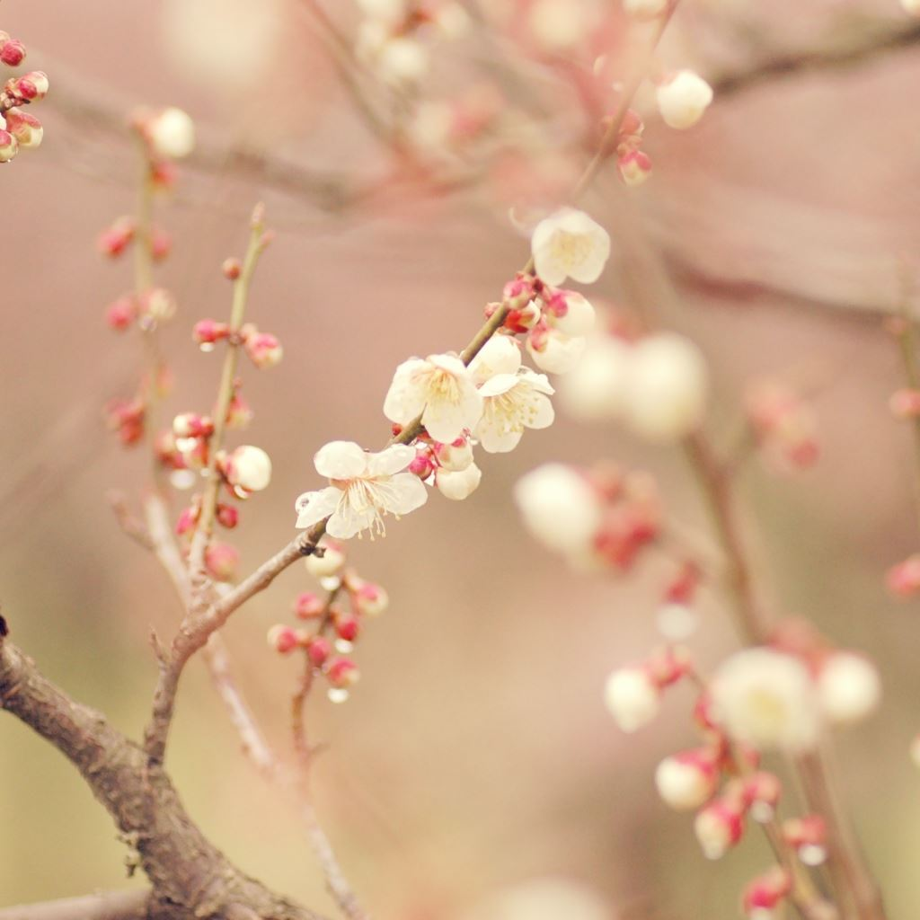 Spring tree blossom flowers iPad wallpaper