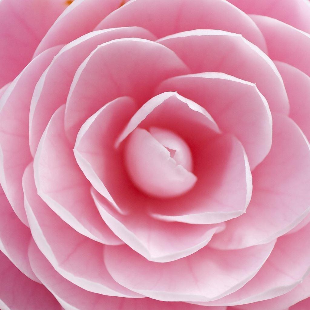 Rose petals iPad wallpaper