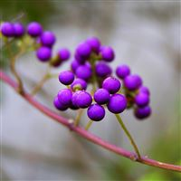 Branch nature berries violet kallikarpa iPad wallpaper