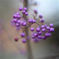 Berry lilac macro iPad wallpaper