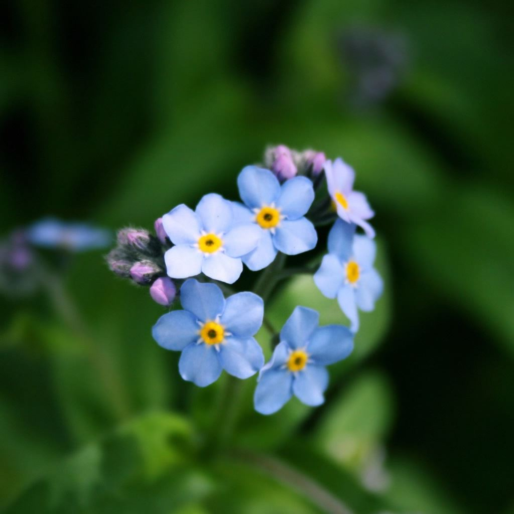 Forget Me Not Flower iPad wallpaper