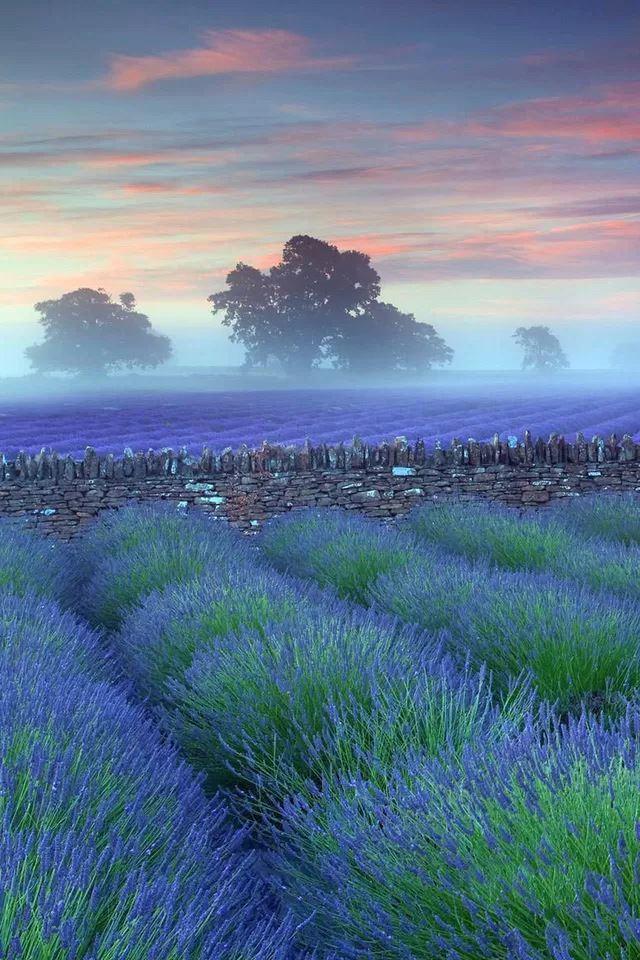 Lavender IPhone 4s Wallpaper