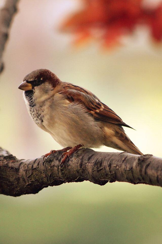 Sparrow Resting iPhone 4s wallpaper
