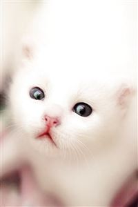 White Kitten iPhone 4s wallpaper