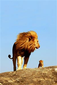 Lion King iPhone 4s wallpaper