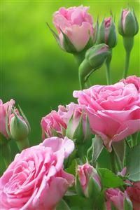 Pink Roses iPhone 4s wallpaper